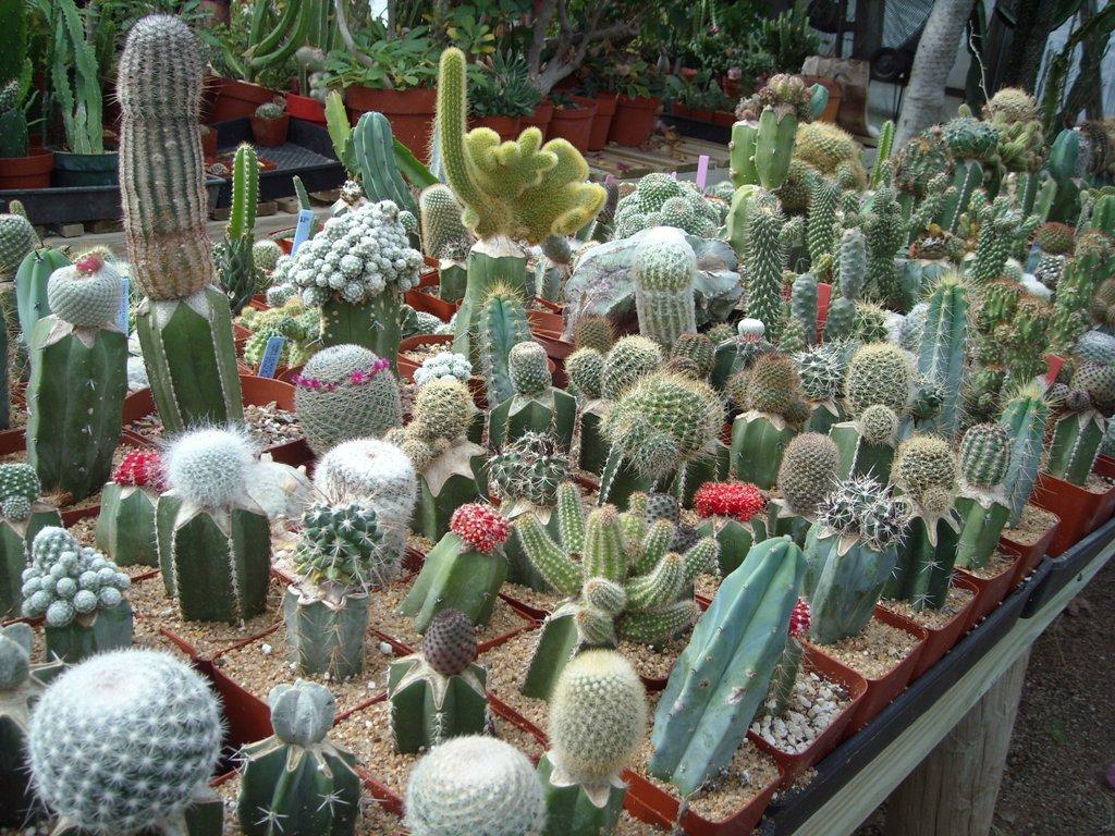 composizione di cactus composition of cactus. Black Bedroom Furniture Sets. Home Design Ideas