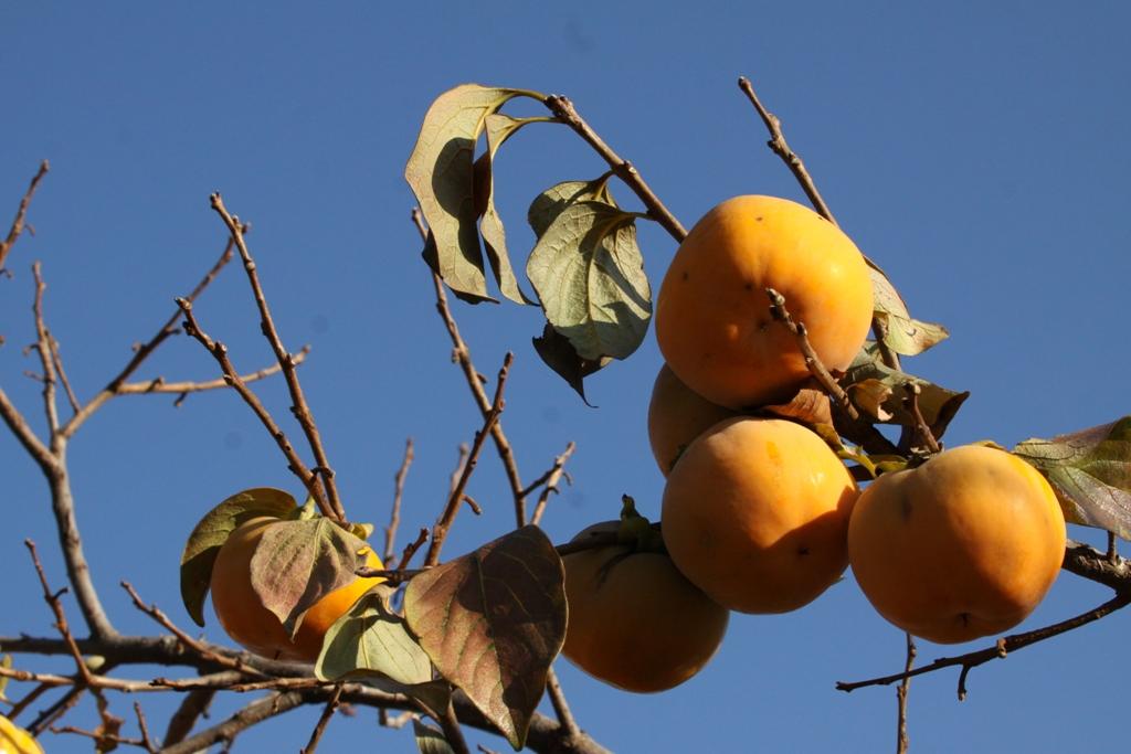 Cachi persimmon for Cachi persimon
