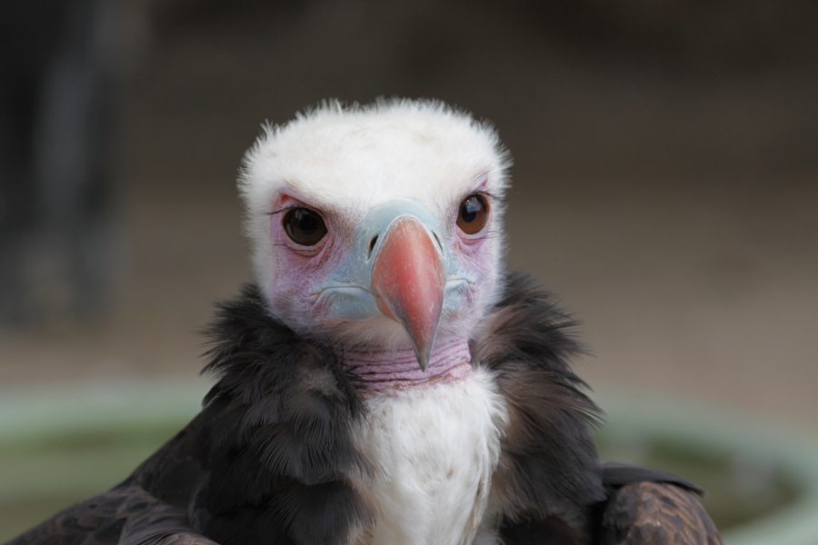 Avvoltoio testa bianca - White headed vulture