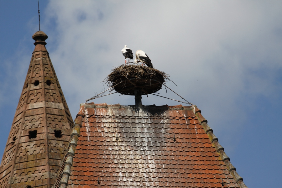 Cicogne a Munster - Storks in Munster